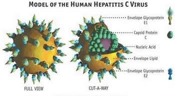 virus-hepatitis-c